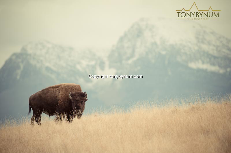 bison american buffalo on a ridge in the grass with mountain background