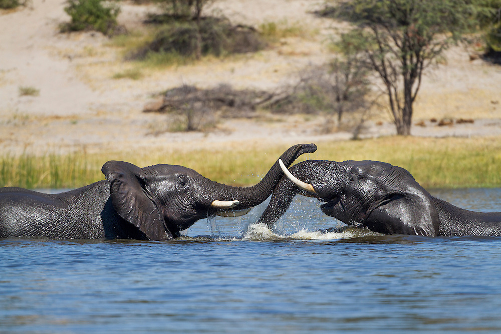Africa, Botswana, Makgadikgadi Pans National Park, Two Bull Elephants (Loxodonta africana) sparring and playing in deep channel on Botete River