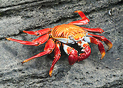 "Sally Lightfoot or red lava crab (Grapsus grapsus) at Puerto Egas on Santiago (or San Salvador, or James) Island, in the Galápagos archipelago, a province of Ecuador, South America. Grapsus grapsus is one of the most common crabs along the western coast of South America, and can also be seen along the entire coast of Central America and Mexico and nearby islands. This crab has five pairs of legs, the front two bearing small, blocky, symmetrical chelae. The other legs are broad and flat, with only the tips touching down. The crab's round, flat carapace is just over 8 cm (3 inches) in length. Young crabs are black or dark brown in color and camouflage well on the black lava coasts of volcanic islands. Adults are quite variable in color. Some are muted brownish-red, some mottled or spotted brown, pink, or yellow. The ones seen on photographs of tropical island fauna are often bright orange or red with stripes or spots dorsally, blue and green ventrally, and sporting red claws and pink or blue eyes. This crab lives amongst the rocks at the often turbulent, windy shore, just above the limit of the seaspray. It feeds on algae primarily, sometimes sampling plant matter and dead animals. It is a quick-moving and agile crab, and hard to catch, but not considered very edible by humans. It is used as bait by fishermen. Published in ""Light Travel: Photography on the Go"" book by Tom Dempsey 2009, 2010."