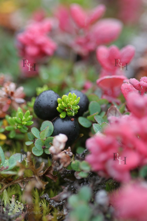 Ripe crowberries and delicate crimson leaves brighten autumn tundra at Eqalugssuit on the west coast of Greenland.