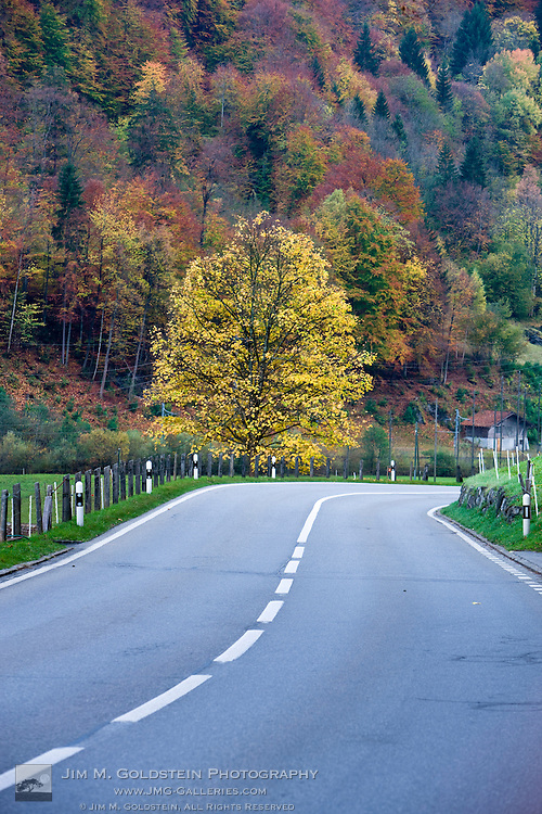 A large yellow leafed deciduous tree at the end of a curvy road in the Swiss countryside