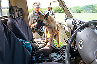 Scent detection anti-poaching dog, Thanda Private Game Reserve, KwaZulu Natal, South Africa