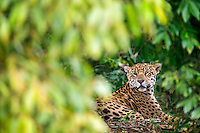 A jaguar rests in the dark of the forest, Pantanal, Brazil.