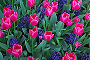 WA13065-00...WASHINGTON - Tulips and hyacinths blooming in a display garden at RoozenGaarde Bulb Farm near Mount Vernon.