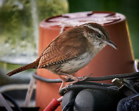 Carolina Wren. Image taken with a Nikon D5 camera and 600 mm f/4 VR lens