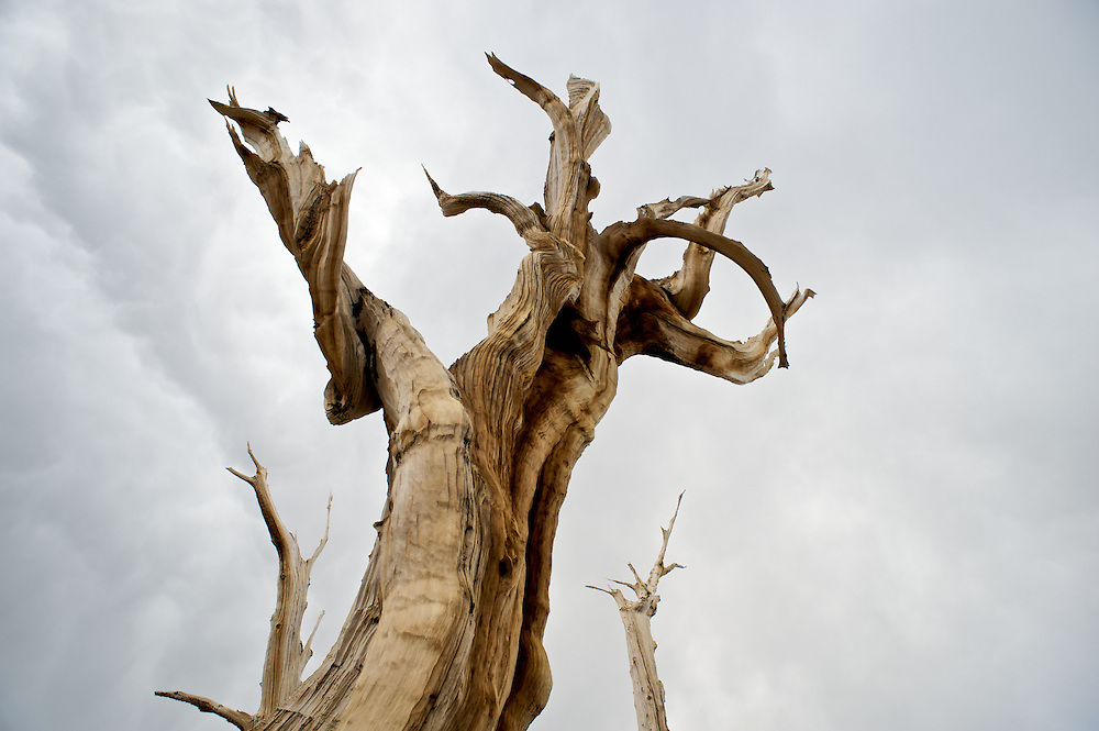 The Bristlecone Pine trees are thought to be the oldest living organisms on earth, living to well over 4,000 years. Because the grow in dry soils and amidst cold winds they grow very slowly and the wood is extremely dense.