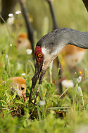 Sandhill crane adult offers worm to downy young. Mud shows on the adult's beak from probing in wet soil. © 2014 David A. Ponton