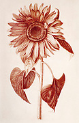 Helianthus annuus, the common sunflower in Red chalk on paper by Nicolas Robert from Sketchbook A at the Jardin Du Roi, Paris c 1650