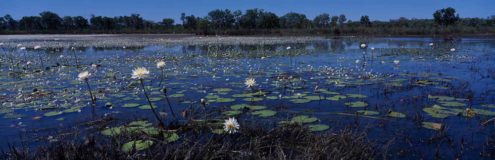 Australia, Northern Territory, Kakadu National Park, Water lilies in pool near Nourlangie Creek