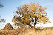 Winter autumnal leaves still on trees in December, Sutton, Suffolk England