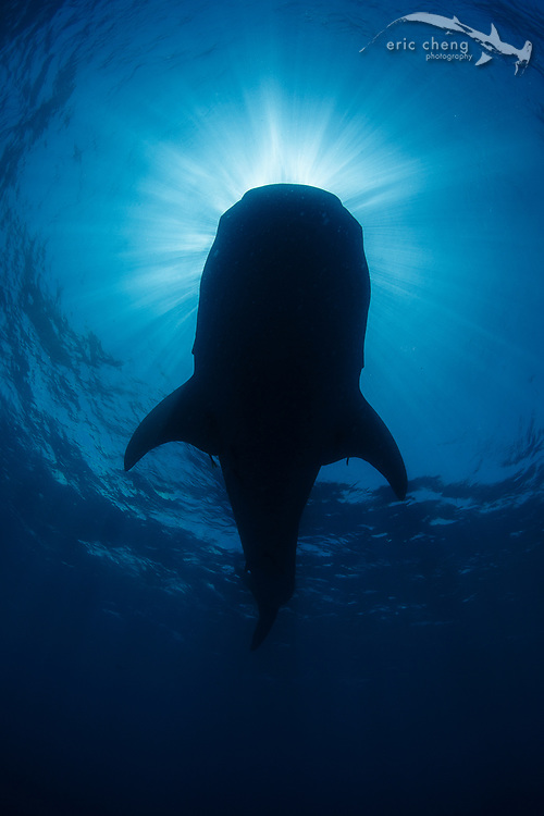 The silhouette of a large whale shark (Rhincodon typus). Isla Mujeres, Mexico.