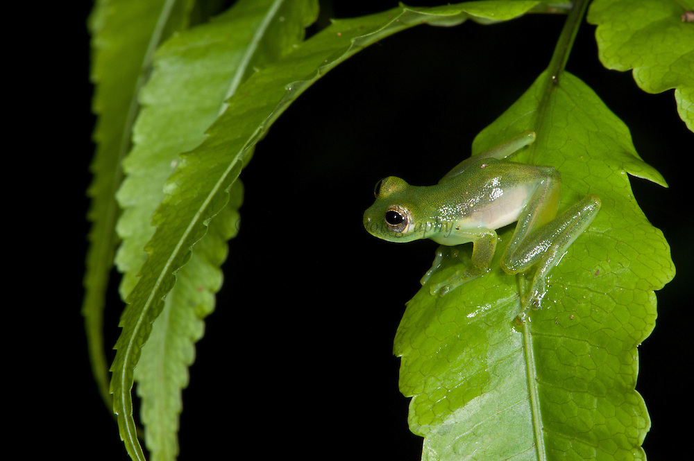 Santa Cecilia Glass Frog (Cochranella midas)<br /> Yasuni National Park, Amazon Rainforest<br /> ECUADOR. South America<br /> HABITAT & RANGE: near permanent water, usually along streams in subtropical or tropical moist lowland forests of Brazil, Ecuador, Peru, possibly Bolivia, and possibly Colombia.