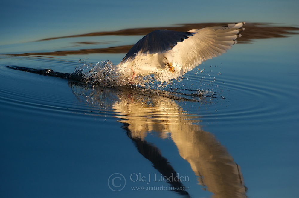 Herring Gull (Larus argentatus) on Smøla, Norway