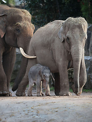 A female Asian elephant calf, as yet unnamed, which was born at Chester Zoo last night with her father Aung Bo and mother Sundara.