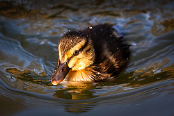 © Licensed to London News Pictures. 10/04/2020. London, UK. A new duckling swims on a canal in Wapping, east London during sunny weather this Good Friday morning. Warm and sunny weather is forecast for the whole of the Easter weekend as the country remains in lockdown due to the ongoing Covid-19 Coronavirus outbreak. Photo credit: Vickie Flores/LNP