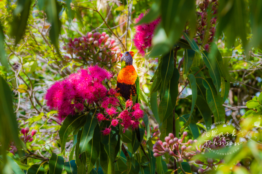 Rainbow Lorikeet (Trichoglossus moluccanus) feeding from gum tree flowers, Tarranora, New South Wales, Australia