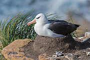 Breeding black-browed Albatross (Thalassarche melanophrys), Saunders Island, the Falklands.