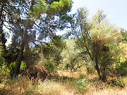 Pine tree forest. Photographed in Israel