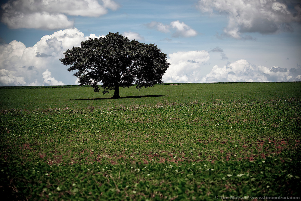 A lone tree stands in a field of young soybeans.