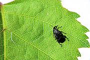 Birch leaf-roller (Deporaus betulae) | Birkenblattroller oder Trichterwickler (Deporaus betulae)