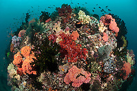The coastal waters of Triton Bay are rich in nutrients washed down from the surrounding hills.  As a result underwater life is dominated by filter feeders such as colorful soft corals and black corals.  Triton Bay is also very well known for its marine biodiversity.