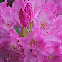 Rhododendron full bloom blossoming flower macro photography artwork from the fine art flower photography collection of Boston based master flower photographer Juergen Roth. <br />