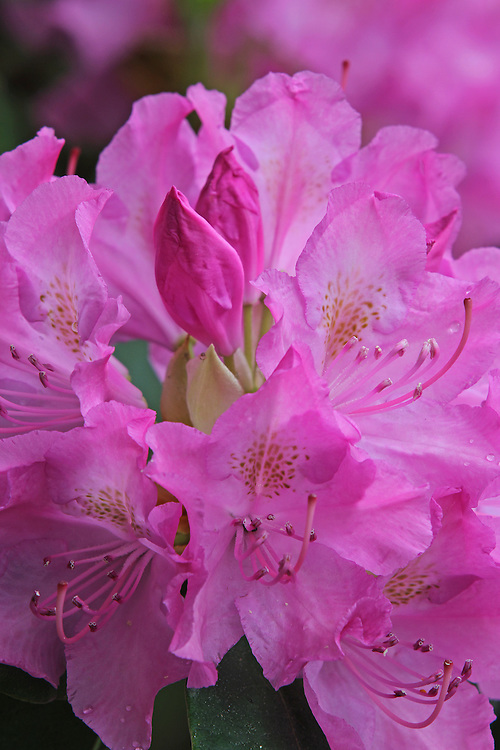 Rhododendron full bloom blossoming flower macro photography artwork from the fine art flower photography collection of Boston based master flower photographer Juergen Roth. <br /> <br /> This flower photography image is available as museum quality photography prints, canvas prints, acrylic prints or metal prints. Fine art prints may be framed and matted to the individual liking and decorating needs:<br /> <br /> http://juergen-roth.pixels.com/featured/blossoming-flowers-juergen-roth.html<br /> <br /> All photographs are available for digital and print image licensing at www.RothGalleries.com. Please contact me direct with any questions or request.<br /> <br /> Good light and happy photo making!<br /> <br /> My best,<br /> <br /> Juergen<br /> Prints: http://www.rothgalleries.com<br /> Photo Blog: http://whereintheworldisjuergen.blogspot.com<br /> Twitter: @NatureFineArt<br /> Instagram: https://www.instagram.com/rothgalleries<br /> Facebook: https://www.facebook.com/naturefineart