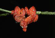 Emerald Tree Boa Juvenile<br /> Corallus Caninus<br /> Iwokrama Reserve, GUYANA, South America