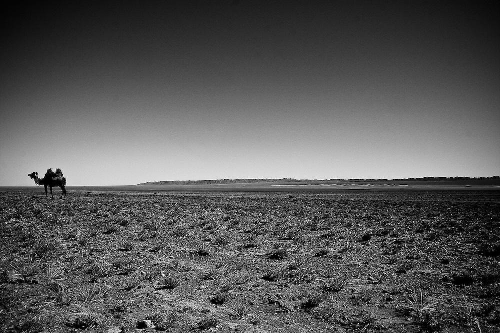 A lone camel in the Gobi Desert, Mongolia.