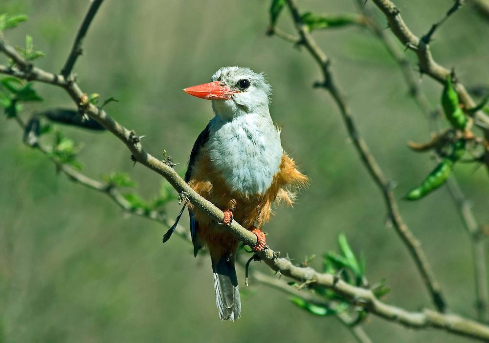 Grey-headed kingfisher(Halcyon leucocephala) Cape Verde Islands, West Africa