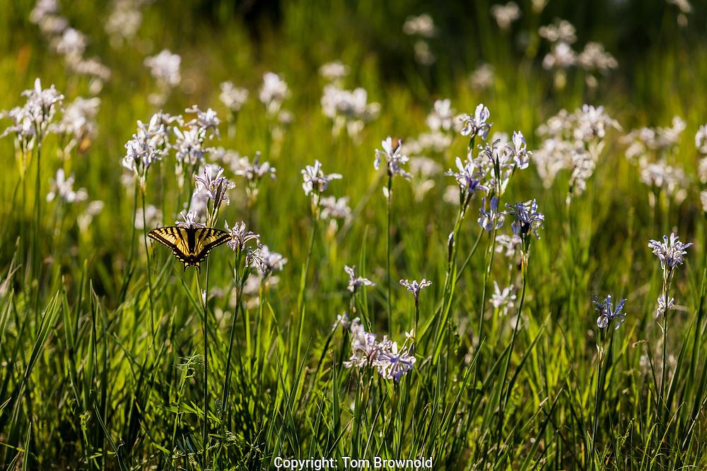 tiger swallowtail butterfly on wild iris flowers