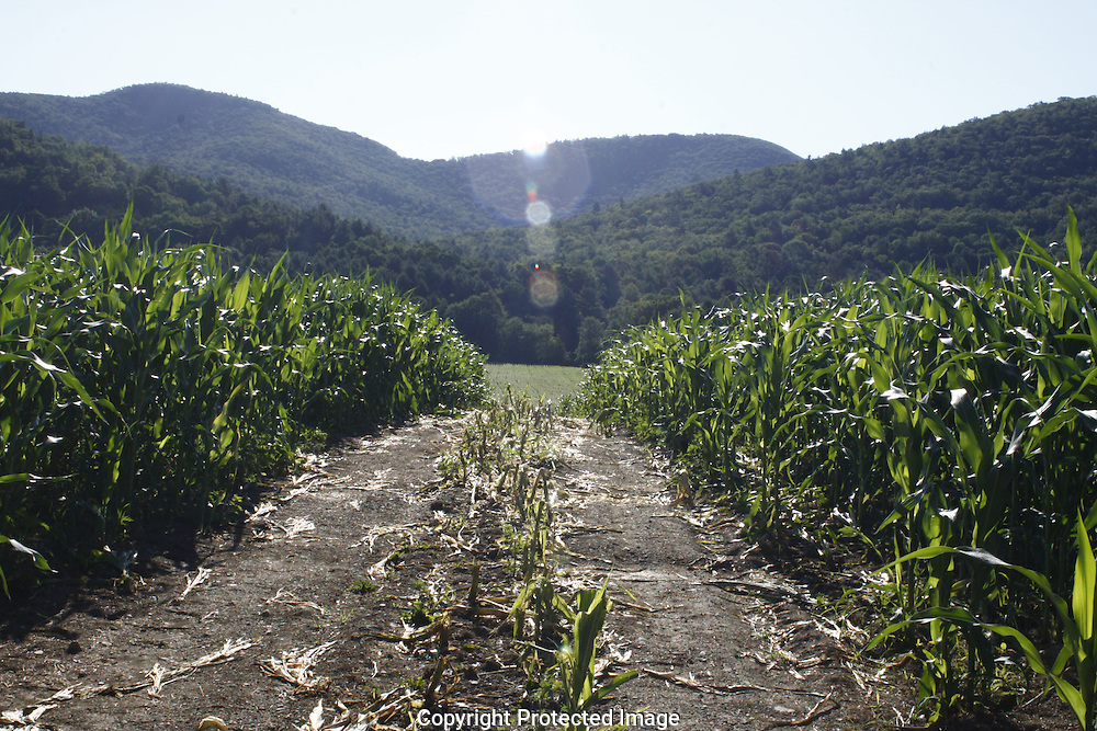 tall corn stands among mountains of wells,vt