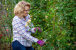 Pruning climbing roses after they have finished flowering