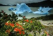 Firebush 'Notro' (Embothrium coccincum) and iceberg, Lago Gray, Patagonia, Chile