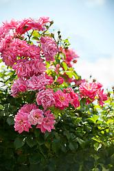 pink rose bush on a sunny day