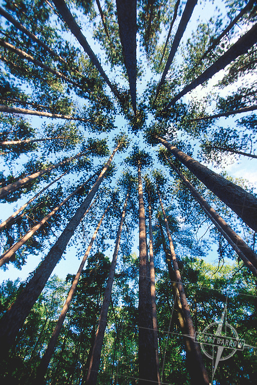 Tall pines shot from below.