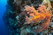 Soft Corals- Alcyonaire (Alcyonacea) of Red Sea, Sudan.