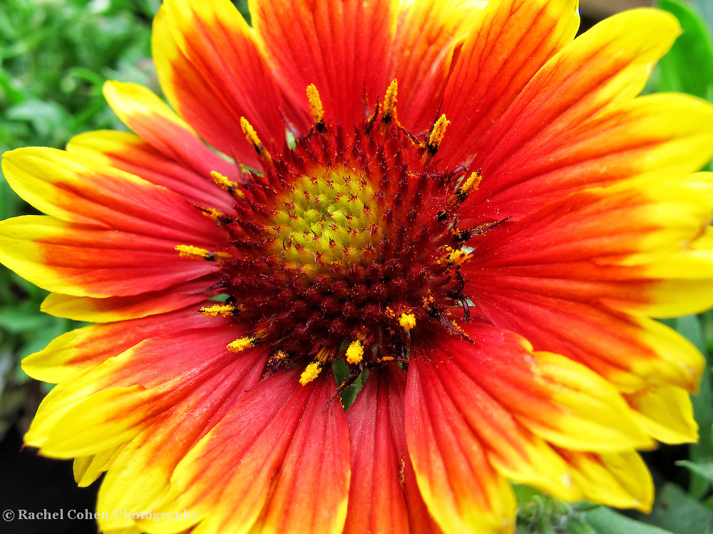 &quot;Blanket Flower&quot;<br /> <br /> All dressed up in vibrant oranges, reds and yellows!!<br /> <br /> Flowers by Rachel Cohen