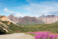 Bicyclists ascend to the summit of Sable Pass in Denali National Park in Southcentral Alaska. Summer. Evening. MR.