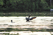 loons on peacham pond,vt.  one is stretching its wings,throwing water everywhere no property release