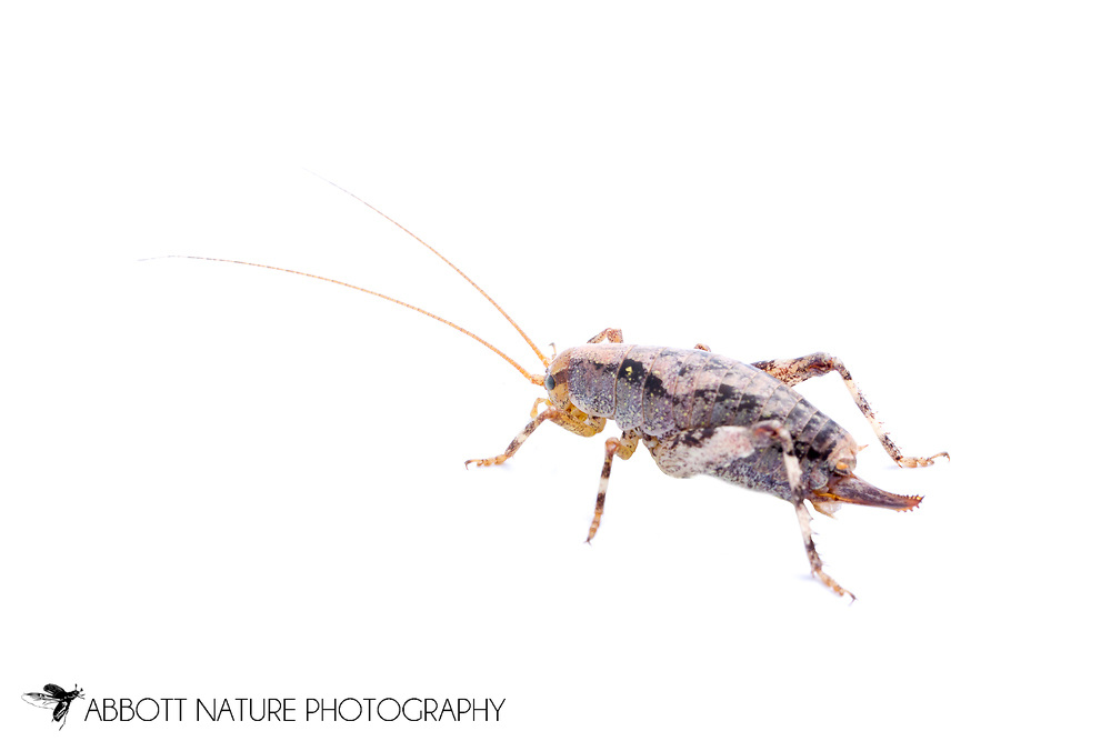 Camel Cricket (Gammarotettix sp.)<br /> CALIFORNIA: Monterey Co.<br /> Hastings Biological Preserve<br /> 10-May-2015<br /> J.C. Abbott &amp; K.K. Abbott