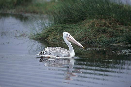 Pink-backed Pelican, (Pelecanus rufescens) Kenya. Africa.