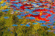 water lilies in japanese garden in fall color