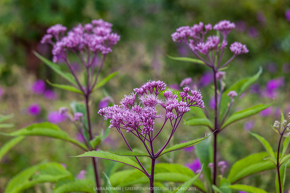"Purple Bush Joe-pye weed (Eupatorium purpureum ""Purple Bush')."