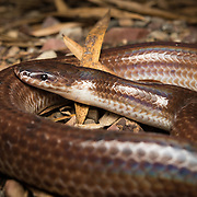 Sunbeam Snake (Xenopeltis unicolor) in Kaeng Krachan national park, Thailand