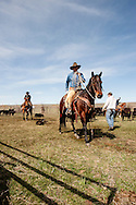 Cowboys, dragging calves to the fire, branding, Lazy SR Ranch, Wilsall, Montana, Dewey Zupan