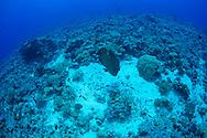 Humphead wrasse-Napoleon (Cheilinus undulatus) of Red Sea, Sudan