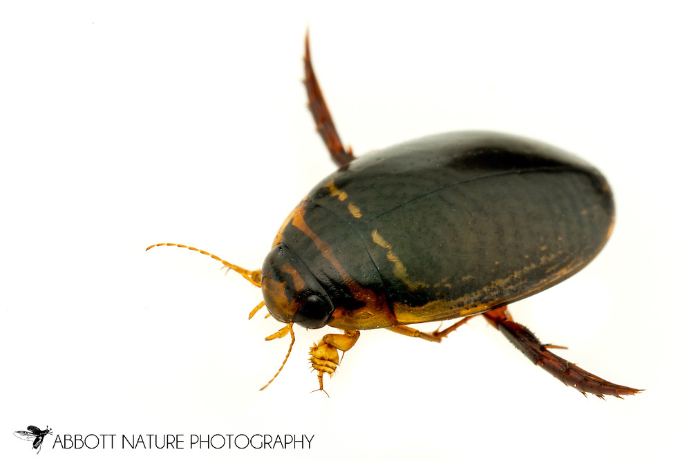 Predaceous Diving Beetle (Thermonectus basillaris)<br /> United States: Alabama: Tuscaloosa Co.<br /> Tulip Tree Springs off Echola Rd.; Elrod<br /> 16-Jun-2016<br /> J.C. Abbott #2833 &amp; K.K. Abbott