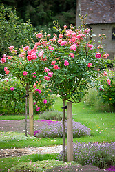 Rosa 'Boscobel' syn. 'Auscousin' grown as a standard