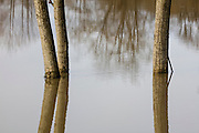The Snonomish River spilled well beyond its banks during a severe flood, engulfing these three trees near Snohomish, Washington.
